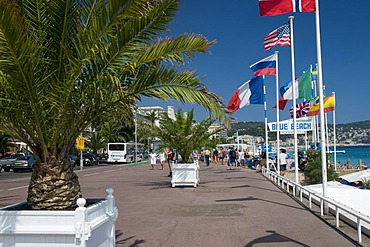Palm trees on the Promenade des Anglais, Nice, Cote d'Azur, Provence, France, Europe
