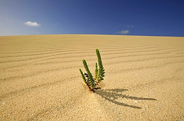 Symbolic image of life in the desert, Large Yellow Restharrow (Ononis natrix) in the Dunes of Corralejo national park, Fuerteventura, Canary Islands, Spain, Europe