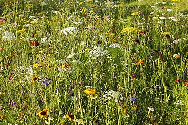 Meadow with many wild flowers in full bloom