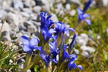 Spring Gentian (Gentiana verna) on Nebelhorn Mountain, Oberstdorf, AAllgaeu, Bavaria, Germany, Europe
