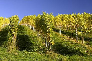 Vines, Kitzeck im Sausal, Styria, Austria, Europe