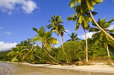 Coconut palms (Cocos nucifera) at Baie Lazare, Mahe island, Seychelles, Africa, Indian Ocean