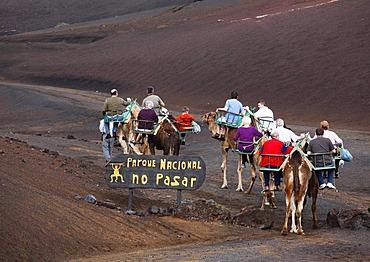 Camel rides, dromedaries in Timanfaya National Park, Montanas del Fuego volcanoes, Lanzarote, Canary Islands, Spain, Europe