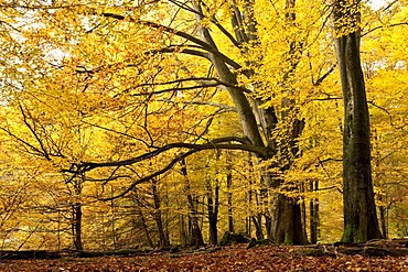 Beeches in autumn, nature reserve, Sababurg virgin forest, Reinhardswald, Hofgeismar, North Hesse, Hesse, Germany, Europe