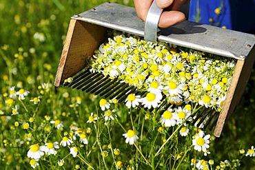 Chamomile rake, herb farm, Pflegerhof farm, Castelrotto, South Tyrol, Italy, Europe
