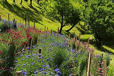 Cornflowers, herb farm, Pflegerhof farm, Castelrotto, South Tyrol, Italy, Europe