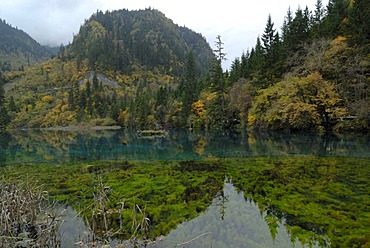 Autumn mood at the Five-Color Pond in which dead trees are lying, and seaweed and sea grass is growing, Jiuzhaiguo Valley, Jiuzhaiguo National Park, Sichuan, China, Asiaan, China, Asia