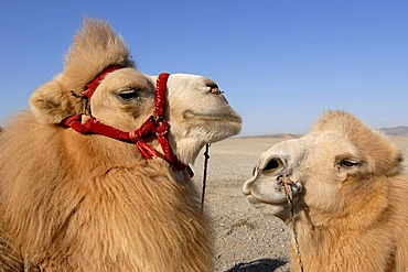 Camels with winter coat and bridles at the Jiayuguan fortress at the western end of the Great Wall, Silk Road, Gansu, China, Asia