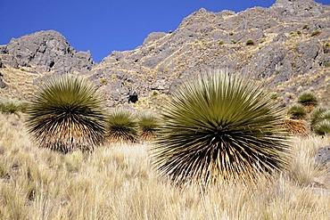 Queen of the Andes (Puya raimondii), Via de los Libertado, Peru, South America, Latin America