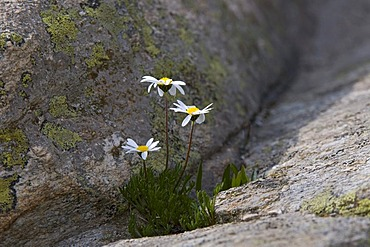 Margherita alpina (Leucanthemopsis alpina), Gran Paradiso National Park, Valle d'Aosta, Italy, Europe