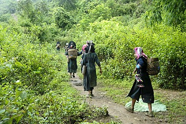 Poverty, ethnology, young women of the Akha Nuqui ethnic group walking together through the jungle on a path, traditional costume, traditional clothing, color indigo, headgear, baskets on their backs, Ban Phou Yot village, Phongsali district and province,