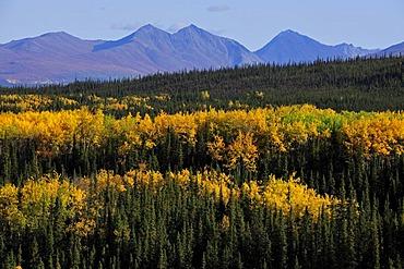Autumn mood, yellow aspen trees, Denali National Park, Alaska