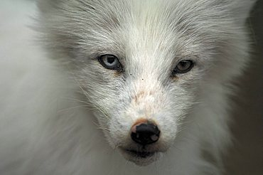 Arctic Fox (Alopex lagopus) portrait, northern Norway, Scandinavia, Europe