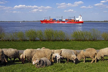 Domestic sheep (Ovis ammon f. aries ), ewes with lambs on a dyke with a containership on the Elbe river, Wisch, Altes Land area, Lower Saxony, Germany,