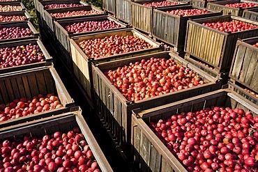 Apple harvest in Brandenburg, Germany, Europe