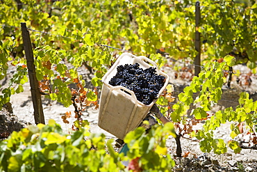 Harvesting in Douro, Portugal, Europe