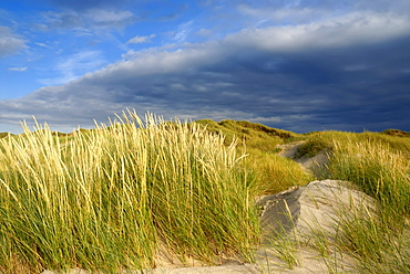 Dunes in the evening light, white dune with Marram grass (Ammophila arenaria) in the foreground, dunes at Roedhus, North Jutland, Denmark, Scandinavia, Europe