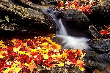 Autumn leaves in a stream in the Parc National de la Gatineau, National Park near Ottawa, Canada