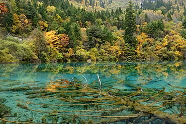 Autumn mood at the turquoise Five Colour Lake with dead trees, Jiuzhai Valley, Jiuzhaiguo National Park, Sichuan, China, Asia