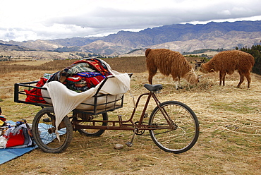 Two llamas and a bicycle, Huilahuila, Peru, South America, Latin America