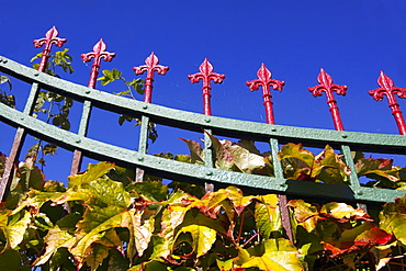 Boston Ivy (Parthenocissus tricuspidata), autumnal, climbing an old wrought-iron garden fence