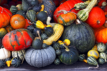 Pumpkins, cucurbits, marrows, gourds (Cucurbita pepo)