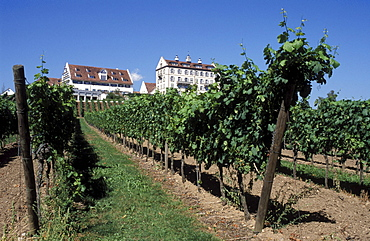 Vineyards in front of Schloss Kirchberg castle, viticulture, wine grapes, wine, Lake Constance, Baden-Wuerttemberg, Germany, Europe