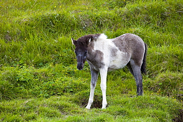 Icelandic Horse, foal, Iceland, Europe