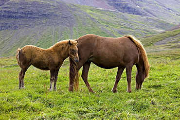 Icelandic Horse, mother and foal, Iceland, Europe