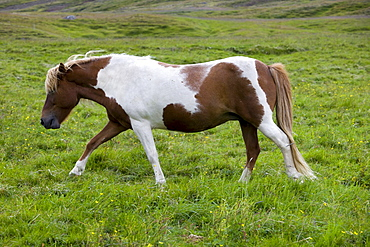 Icelandic Horse, Iceland, Europe