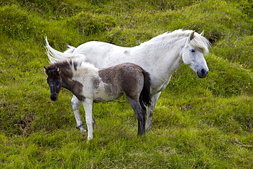 Iceland horse, mother and foal, Iceland, Europe