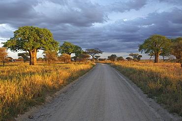 Baobab trees (Adansonia) in Tarangire National Park, Tanzania, Africa