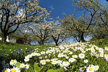 Spring scene, blooming apple trees, oxeye daisies