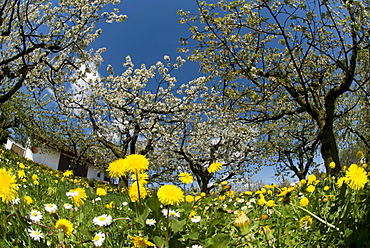Spring scene, flowering apple trees, oxeye daisies, dandelions