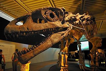 Brachytrachelopan mesai, herbivore, lived 145 million years ago, Giant Dinosaurs of Argentina exhibition, Lokschuppen, locomotive shed, Rosenheim, Upper Bavaria, Bavaria, Germany