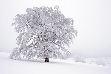 Snow-covered Copper Beech (Fagus sylvatica), Schauinsland, southern Black Forest, Baden-Wuerttemberg, Germany, Europe