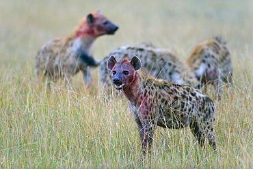 Spotted Hyena (Crocuta crocuta), pack, Masai Mara National Reserve, Kenya, East Africa