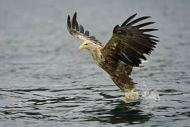 White-tailed eagle (Haliaeetus albicilla) hunting in midair