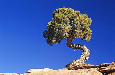 Juniper Pine, Dead Horse State Park, Utah, America