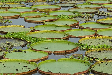 Giant Queen Victoria water lily (Victoria amazonica), Pantanal, UNESCO World Heritage Site and Biosphere reserve, Mato Grosso, Brazil