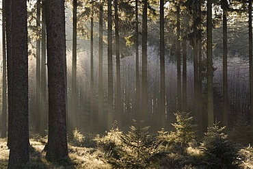 Hautes Fagnes Reserve in wintertime, fog in the forest, Eupen, Province Liege, Belgium