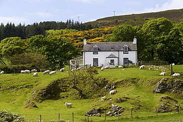 Cottage, sheep, Isle of Mull, Scotland, United Kingdom, Europe