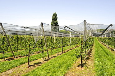 Wine-growing, vineyard near Ueberlingen at Lake Constance, Baden-Wuerttemberg, Germany, Europe