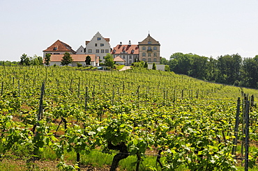 Vineyard of Kirchberg Castle near Immenstad at Lake Bodensee, Baden-Wuerttemberg, Germany, Europe