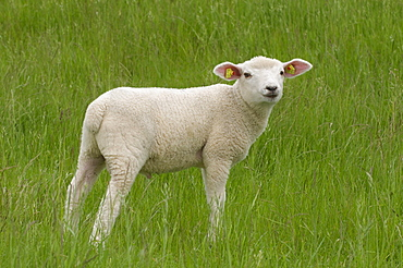 Lamb standing on grass and looking at the viewer, dyke, East Frisia, Lower Saxony, Germany, Europe