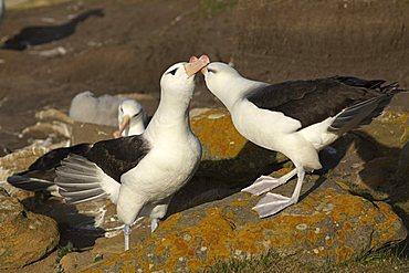 Black-browed Albatrosses or Black-browed Mollymawks (Diomedea melanophris), Falkland Islands, South America