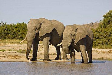 African elephants (Loxodonta africana) drinking at a natural waterhole, Savuti, Botswana, Africa