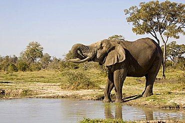 African elephant (Loxodonta africana) drinking at the natural waterhole, Savuti, Botswana, Africa