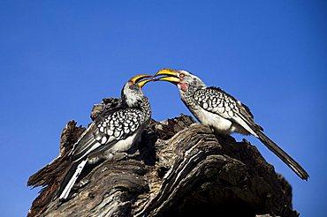 Eastern Yellow-billed Hornbill (Tockus flavirostris), Savuti, Chobe National Park, Botswana, Africa