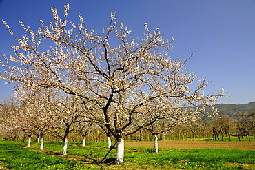 Apricot trees (Prunus armeniaca) in bloom, Wachau, Austria's biggest apricot growing area, Lower Austria, Austria, Europe